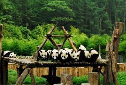 点击打开景区内景点:大熊猫馆的详细介绍…