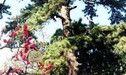 点击打开景区内景点:凤栖松的详细介绍…