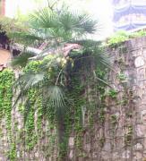 点击打开景区内景点:宋代铁树的详细介绍…